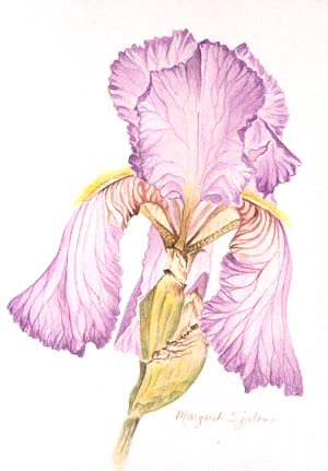 "Iris Flower- Limited Edition Lithograph 20"" x 30"""