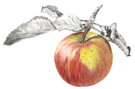 Apple. Colour pencil and graphite on paper