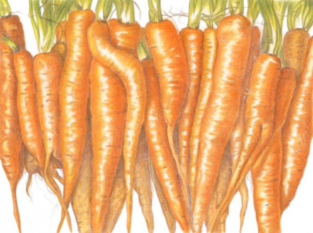 carrots botany Carrots depicted in  illustrations of carrots in ancient manuscripts or early  the oldest and most valuable work in the history of botany and.