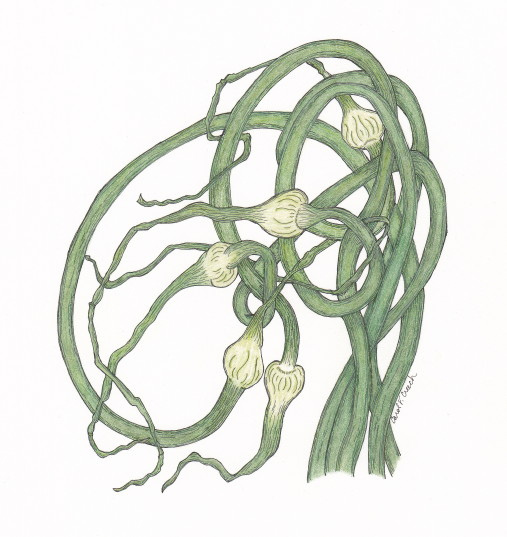 Garlic Scapes in Ink and Colored Pencil - Carol Creech
