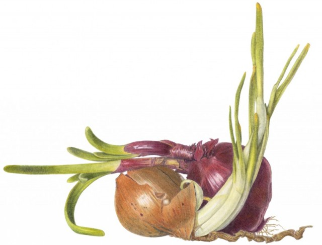 Onions embracing