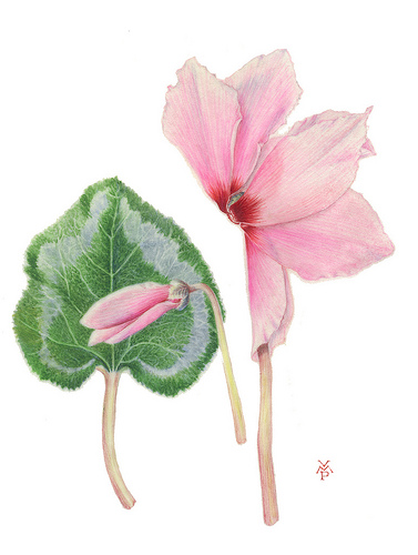 Pink Cyclamen - Watercolour